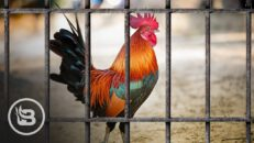Comedian Explains Why An Armed Rooster Was Placed Under Police Custody